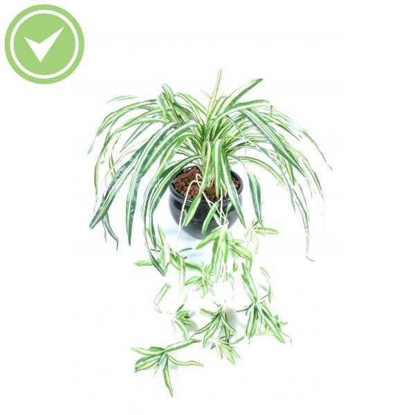 Plante verte retombante interieur for Plante verte tombante interieur