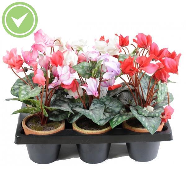 Cyclamen pot en barquette de 6 plante artificielle en pot maison et fleurs - Arrosage cyclamen en pot ...
