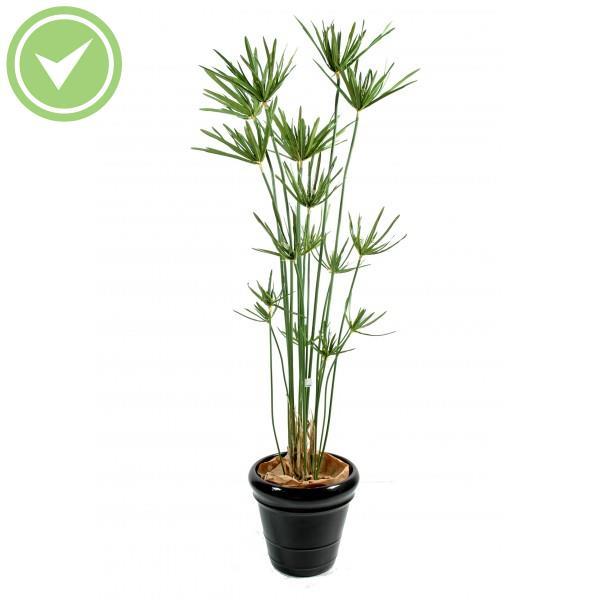 papyrus scirpus diffusus herbe artificielle maison et fleurs. Black Bedroom Furniture Sets. Home Design Ideas